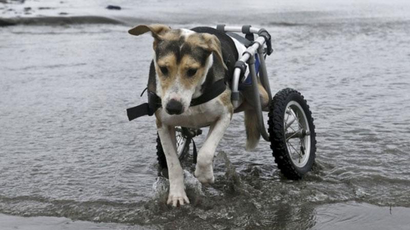 Każdy pies zasługuje na drugą szansę. Przypomina o tym założycielka nietypowego schroniska, przeznaczonego dla niepełnosprawnych zwierząt