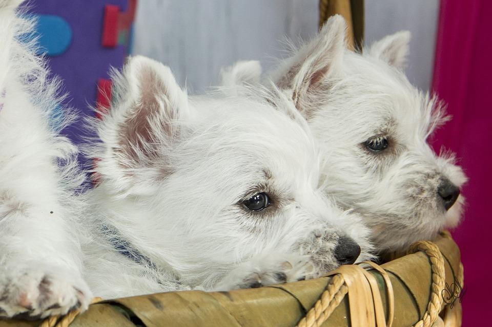 puppies-1222494_960_720