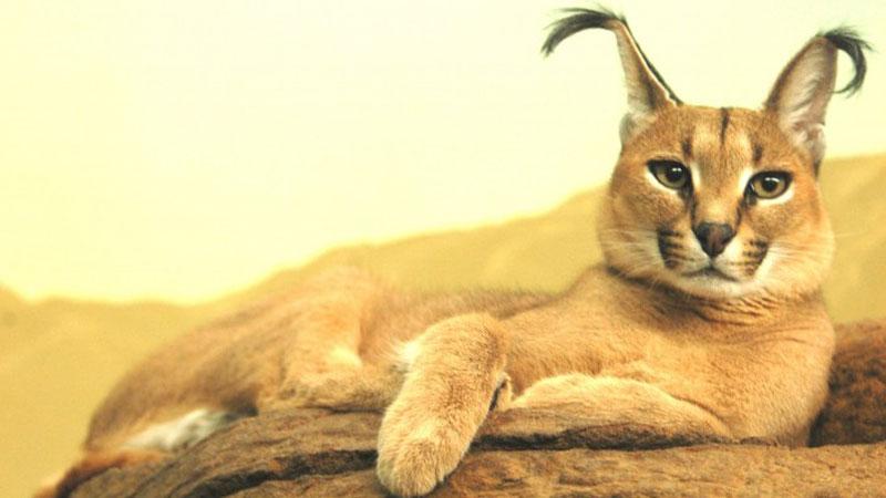 Lubicie dzikie zwierzęta? Poznajcie bliżej karakala, kota, który zachwyca wyglądem i zaskakuje charakterem