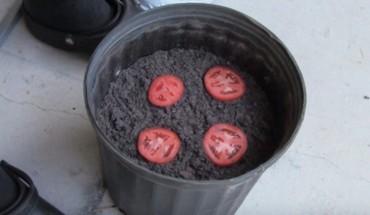 Pokroił pomidora i wrzucił go do doniczki z ziemią. Po dwóch tygodniach ukazało się TO!