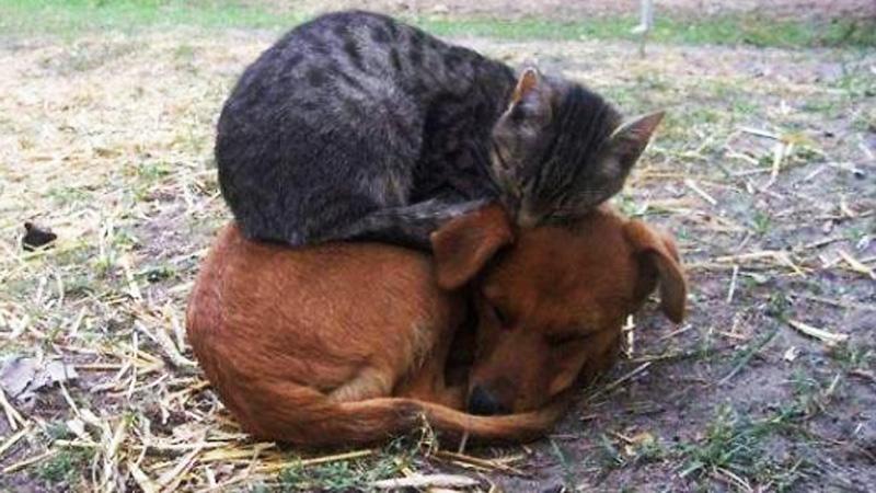 Koty, które wykorzystały psy jako poduszki. Dobrze wiedzą, jak się ułożyć, aby było im wygodnie