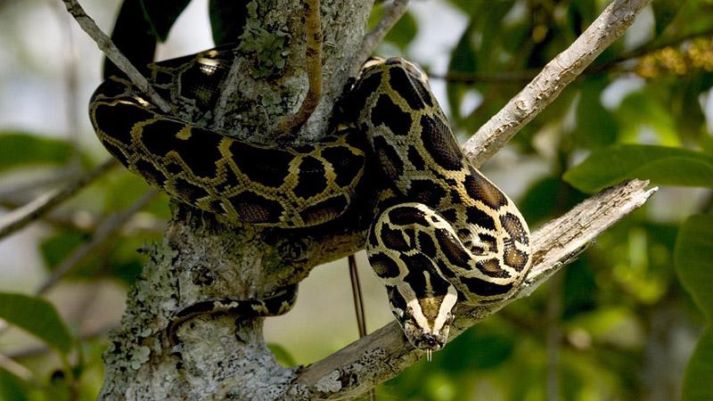 burmese-python-1150794_960_720