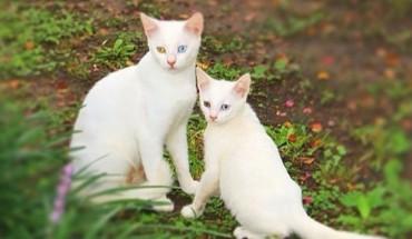 Genów nie da się oszukać! Oto 15 dorosłych kotów i ich pociechy, przypominające swych rodziców niczym odbitka ksero