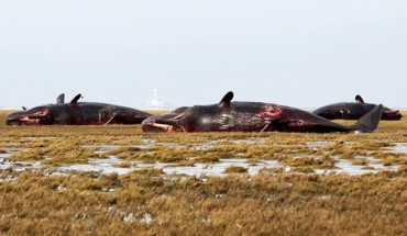 Martwe wieloryby u wybrzeży Niemiec. To, co znaleziono w ich żołądkach, jest po prostu przerażające!