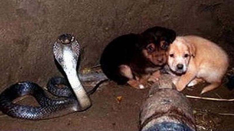 Dwa szczeniaki wpadły do studni, w której znajdowała się kobra. To, co się stało później, przeczy wszelkiej logice!