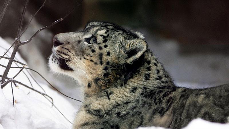 Nieostrożny leopard znalazł się w śmiertelnym niebezpieczeństwie! Czy ktoś pokona swój strach i zdoła mu pomóc?
