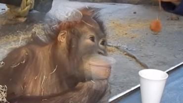 Pokazał magiczny trik orangutanowi. Reakcja zwierzęcia jest genialna!