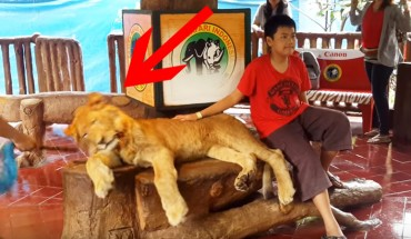 Chłopak pozuje do fotografii z lwem. Nagle głowa zwierzęcia opada… Jaka jest tego przyczyna? Nie uwierzysz!