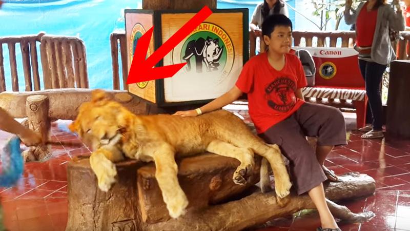 Chłopak pozuje do fotografii z lwem. Nagle głowa zwierzęcia opada... Jaka jest tego przyczyna? Nie uwierzysz!