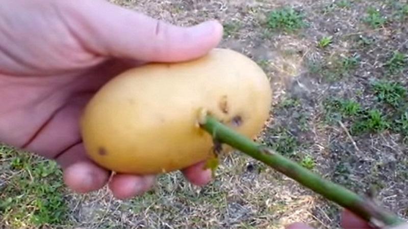 Wyciął otwór w ziemniaku i wbił tam patyk. Kilka tygodni później otrzymał coś naprawdę pięknego!
