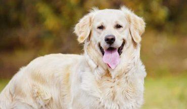 10 najmądrzejszych ras psów na świecie. Jeśli chcesz, by twój pies szybko się uczył i był świetnym pomocnikiem wybierz którąś z nich