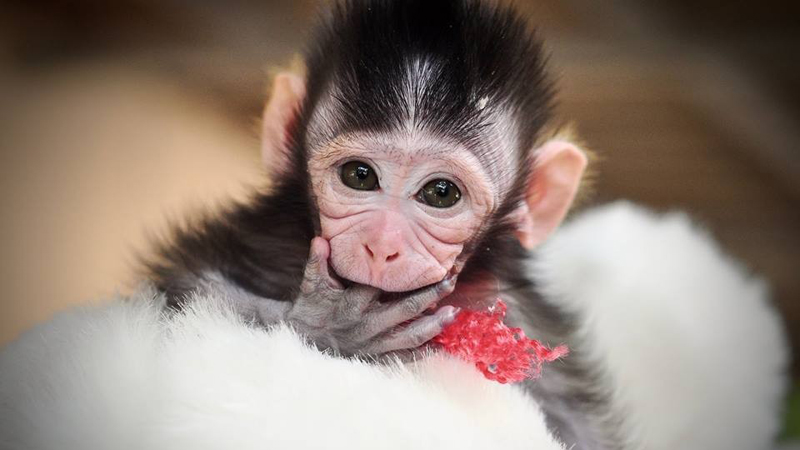 Mała małpka musiała patrzeć na śmierć własnej matki. Nie uwierzysz, co zrobili bestialscy kłusownicy na oczach maleństwa!