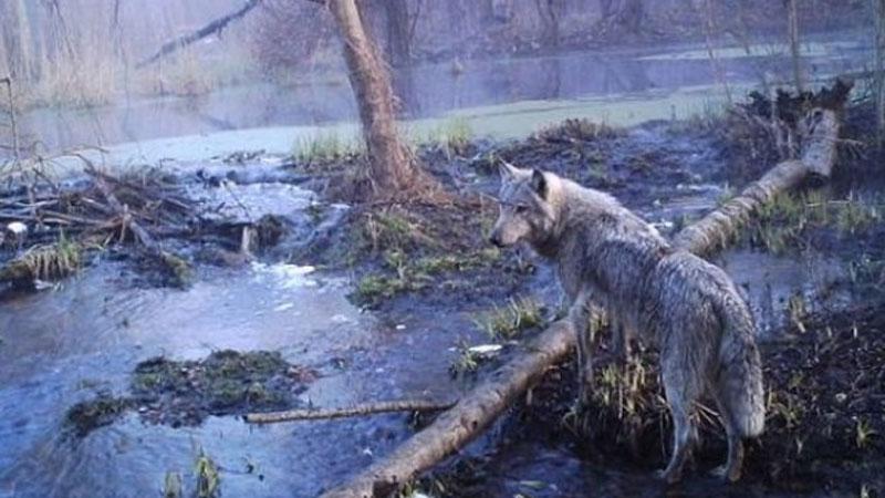 Okolice Czarnobyla 30 lat po katastrofie. Jak się okazuje, to już nie jest wymarła pustynia!