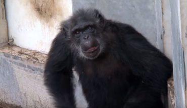 Uratowane z laboratorium badawczego szympansy po raz pierwszy widzą niebo, choć niektóre mają nawet 50 lat!