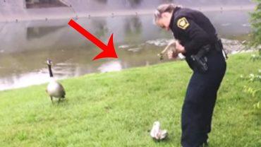 Do funkcjonariusza policji podchodzi gęś i zaczyna gdzieś go prowadzić. Chwilę później orientuje się, co chciała mu przez to powiedzieć!