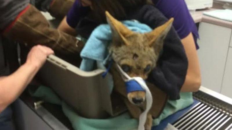 Ten kojot przeszedł prawdziwe piekło, ale dzięki poświęceniu weterynarzy dostał drugą szansę. Zobaczcie, jak ją wykorzystał