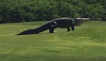 Golfiści na Florydzie przeżyli chwile grozy. Po ich polu golfowym przechadzał się gigantyczny aligator!