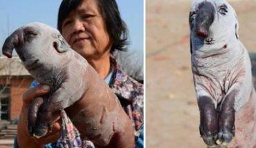W Chinach przyszło na świat zwierzę z niezwykłą anomalią. Naukowcy nie potrafią wyjaśnić, jak do niej doszło!