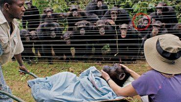 Gdy zmarł ten szympans, inne osobniki zachowały w bardzo smutny sposób. To najbardziej wzruszający obrazek, jaki widziałam