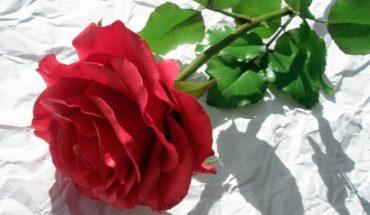 Sądzisz, że to zwyczajna róża? Nawet nie wiesz, jak bardzo się mylisz!