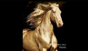 Te konie wyglądają jak posągi ze szczerego złota! Czy wiecie, co to za niezwykła rasa?