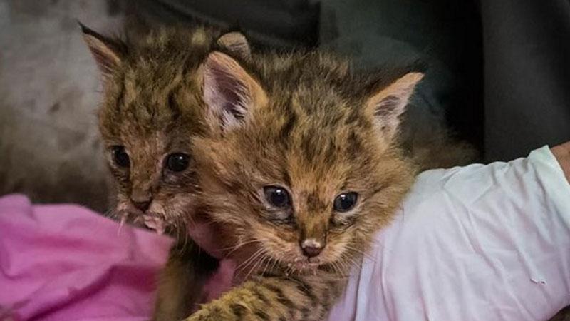 Mężczyzna znalazł dwa porzucone kociaki. Szybko okazało się, że to nie są zwykłe domowe koty...