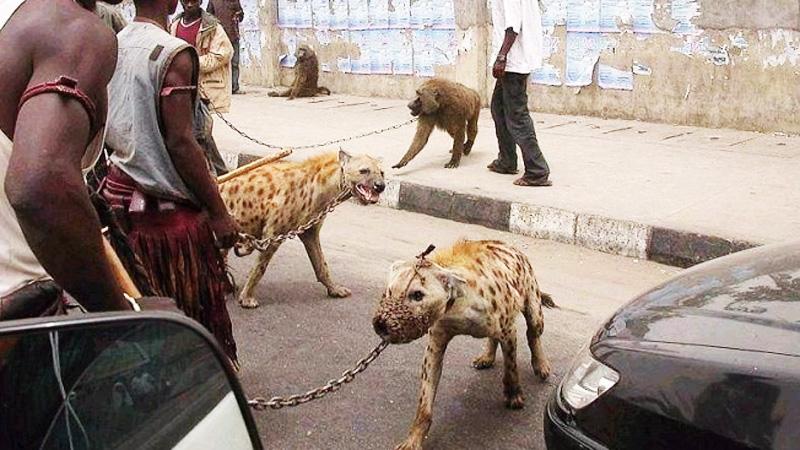 Wszyscy myśleli, że to nigeryjscy przestępcy, którzy zamiast psów mają hieny. Prawda okazała się nieco inna...