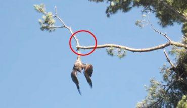 Służby odmówiły pomocy orłowi zwisającemu z drzewa. Obserwujący wydarzenie weteran postanowił działać!