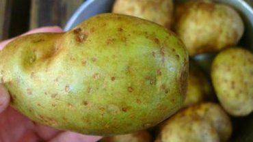 Pamiętaj, aby zawsze odkrawać zieloną część ziemniaka. Zjadając ją, narażasz się na poważne niebezpieczeństwo!
