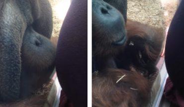 Kobieta w ciąży podchodzi do orangutana. To, co robi małpa jest niewiarygodne!
