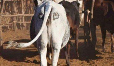 Rolnicy z Afryki malują oczy na krowich zadkach. W tym szaleństwie jest metoda!