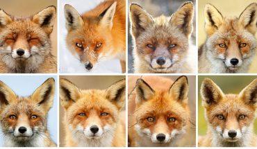 Myślisz, że wszystkie lisy są takie same? Jesteś w wielkim błędzie!