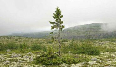 Naukowcy uważają, że znaleźli najstarsze drzewo na Ziemi. Nie zgadniecie, ile lat liczy sobie ten świerk