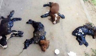 4 bezradne szczenięta przyklejone smołą do asfaltu czekały na śmierć. Policja nie zamierza wyjaśnić sprawy