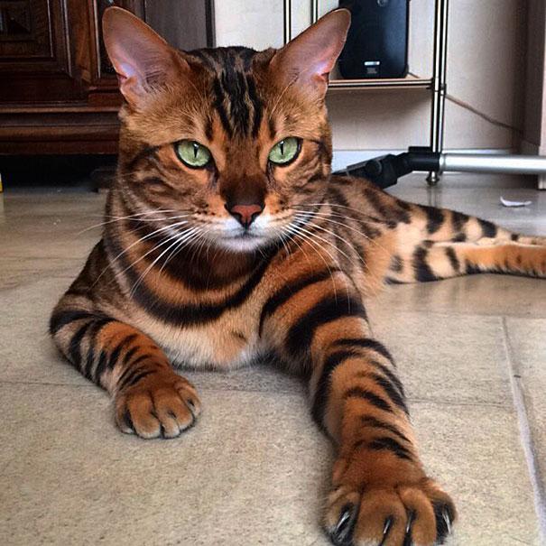 thor-bengal-cat