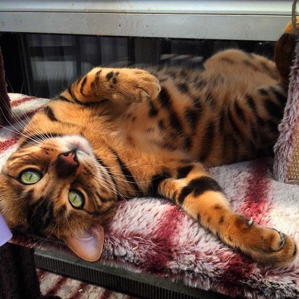 thor-bengal-cat2