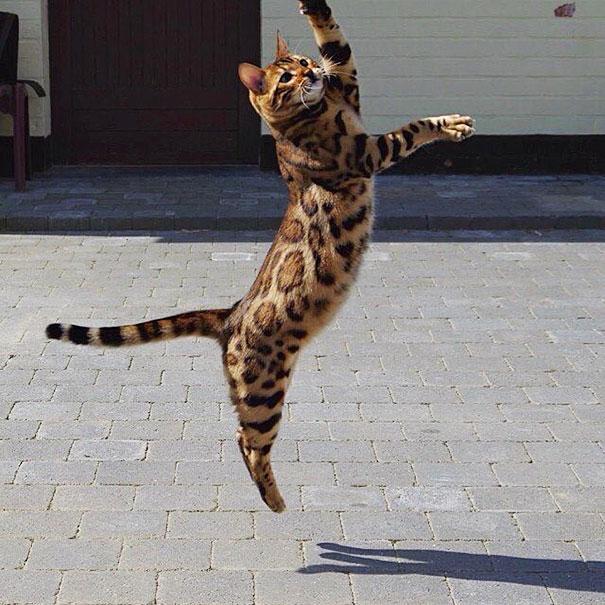 thor-bengal-cat3