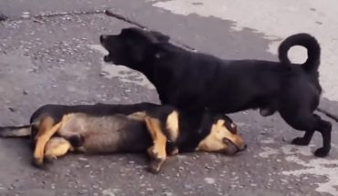 Pies w rozpaczliwy sposób próbuje ożywić potrąconego przez samochód przyjaciela