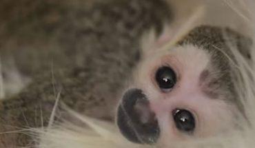 Ta słodka małpka została odrzucona przez biologiczną matkę. Niespodziewanie opieki nad nią podjął się zupełnie inny zwierzak…