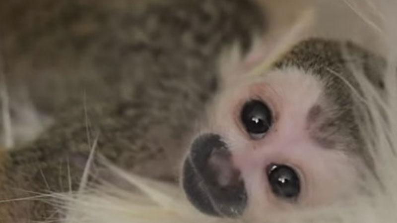 Ta słodka małpka została odrzucona przez biologiczną matkę. Niespodziewanie opieki nad nią podjął się zupełnie inny zwierzak...