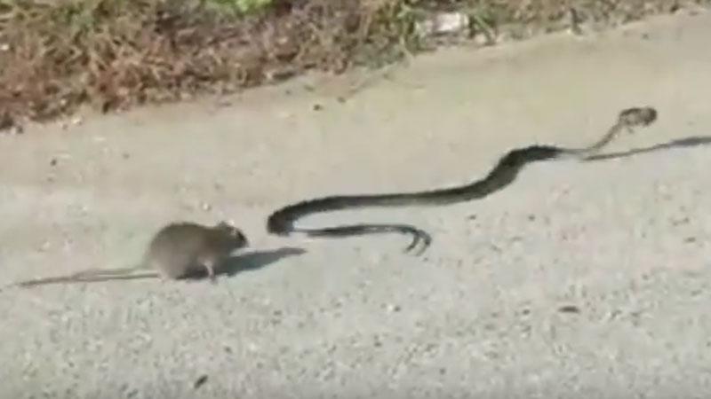 Niecodzienne starcie: szczur kontra wąż. Tak nierówną walkę mogła dojąć tylko matka w obronie swoich młodych