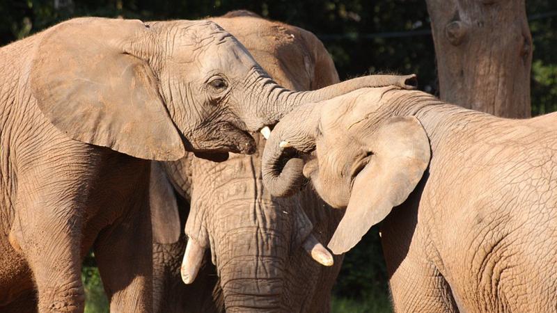 Wiedziałeś, że słonie są jedynymi zwierzętami, które mają bardzo silne więzi z babciami