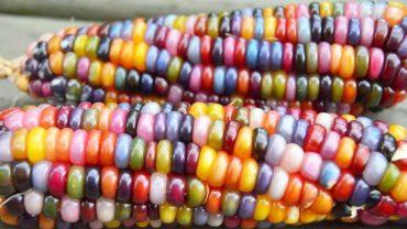 Rolnik wsadził do ziemi kilka kolorowych nasion kukurydzy. To, co wyrosło, oszołomiło nie tylko jego, ale również cały świat!