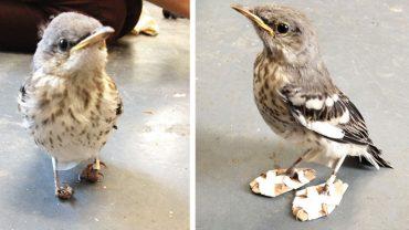 Niecodzienny pomysł na wyleczenie zdeformowanej ptasiej nóżki. Dzięki temu ma szansę normalnie żyć