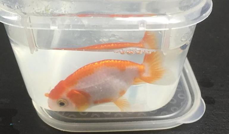 Właścicielka nie wahała się wydać wszystkich oszczędności, by ratować swoją rybkę