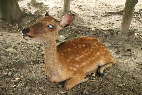blind-deer
