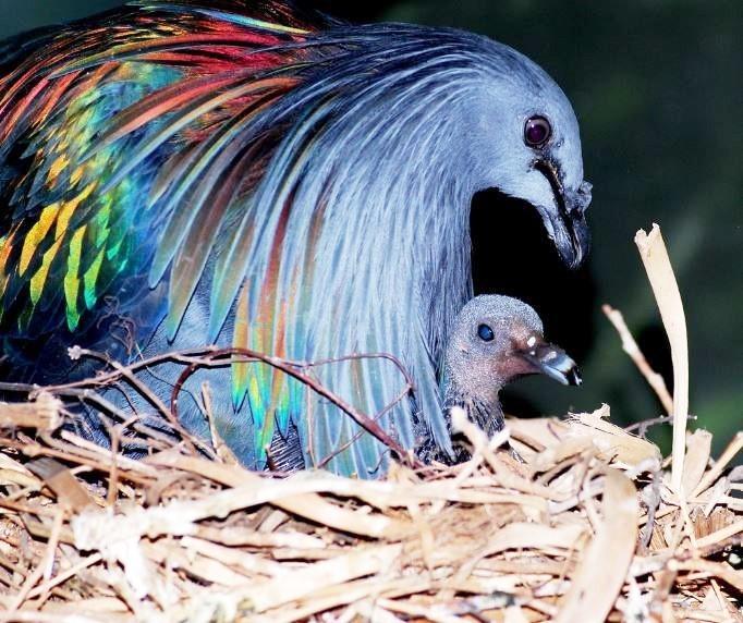nicobar-pigeon1