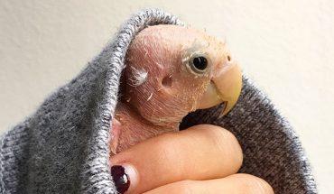Ta mała chora papuga znalazła opiekę i bardzo pomysłową właścicielkę, która uratowała jej życie
