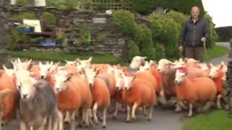 Rolnik wpadł na oryginalny pomysł i zafarbował futra owiec na pomarańczowo. Pomysł jest bardzo praktyczny, bo...