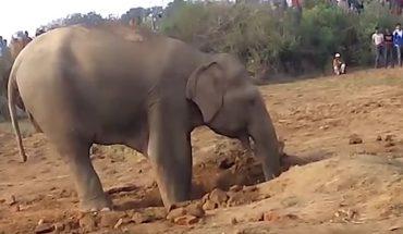 Gdy słoniątko wpadło do studni to jego matka przez 11 godzin próbowała je ratować, ale pomoc człowieka okazała się niezbędna